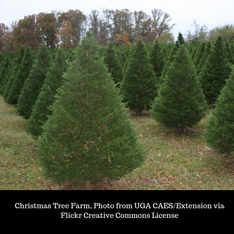 Where Did Christmas Trees Originate.Evergreens For Christmas Trees Acreage Life Nebraska