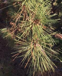 pine needle drop900px