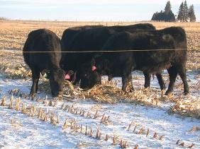 cows grazing stalks-2