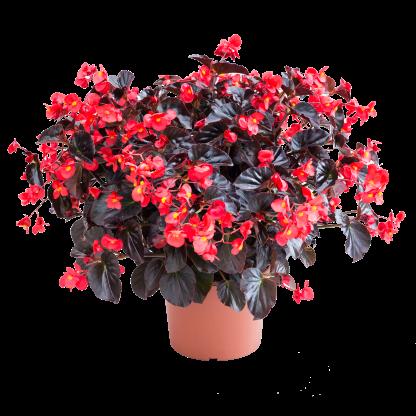 Begonia_Viking-XL_Red-on-Chocolate_01