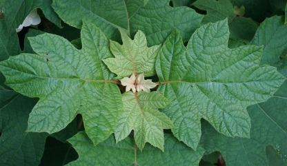 oak-leaf-hydrangea-leaves