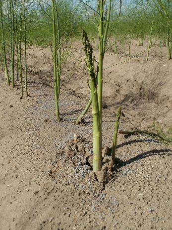asparagus-837664_1920