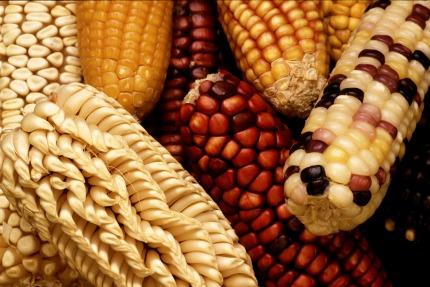 corn-63061_1920