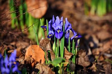 nettled-iris-4012458_1920
