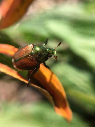 Japanese Beetle Sept18 (1)