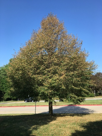 July 21 - Linden Tree at Morton