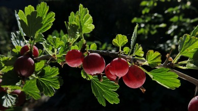 gooseberries-3514746_1920