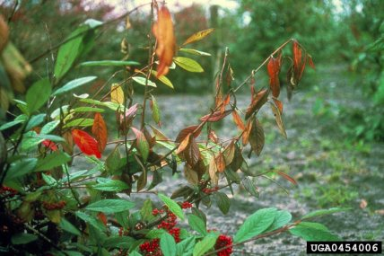 0454006-SMPT Fireblight on cotoneaster
