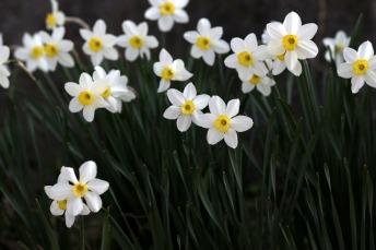 daffodil-4100845_1920 (1)