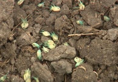 Dormant.Buffalo.Seeding