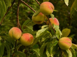 peaches-8985_1920