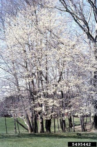 Allegheny serviceberry flowering, T. David Sydnor, Ohio State, bugwood