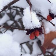 berries-4713700_1920