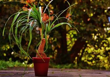 ponytail-plant-1733084_1920