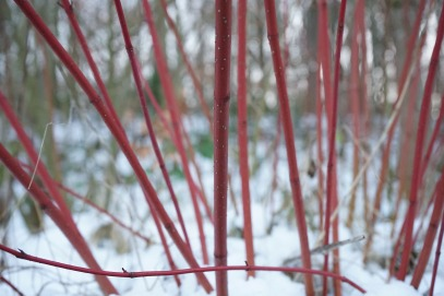 red-dogwood-271259_1920
