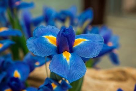 IRIS BLUE DIAMOND