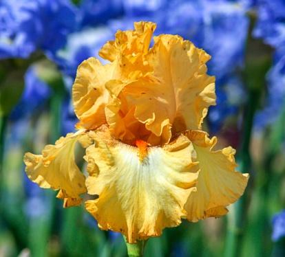 Butterlicious Bearded Iris