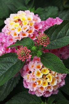 Lantana_Strawberry_Westhoff1