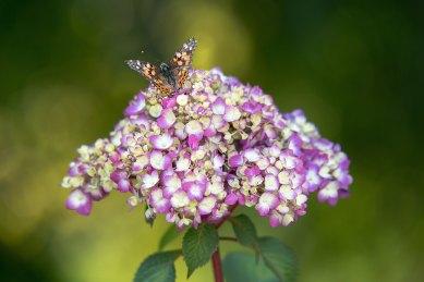 Hydrangea_macrophylla_BloomStruck