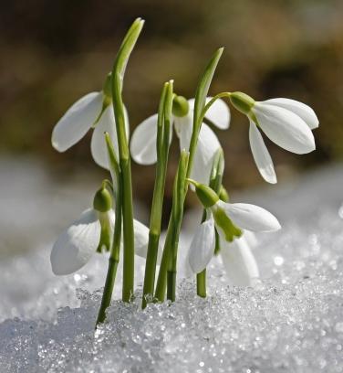 snowdrops, pixabay