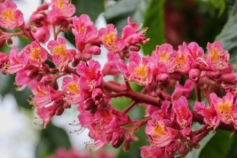 thumbnail_red-flowering-horse-chestnut-4192068_1920