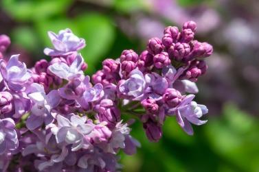 lilac-4181633_1920