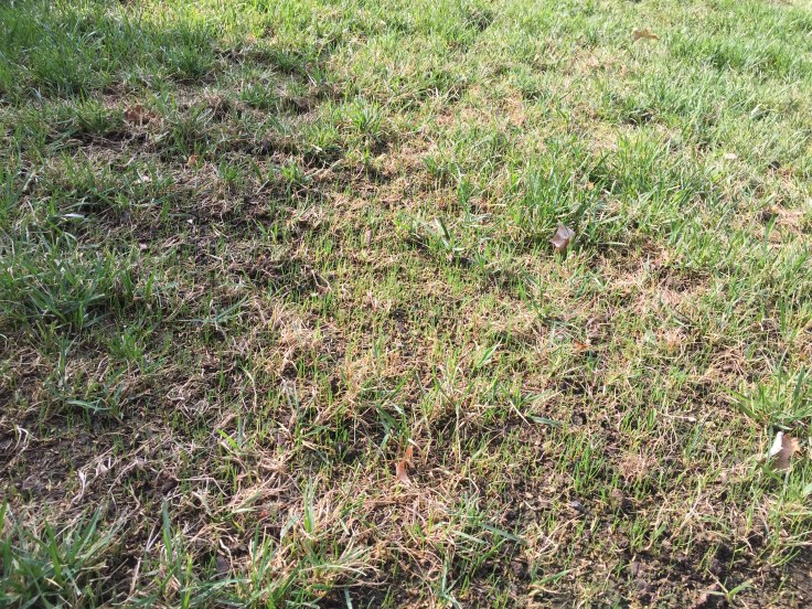 Tall fescue reseeding 2