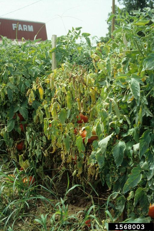 tomato plant with wilting leaves